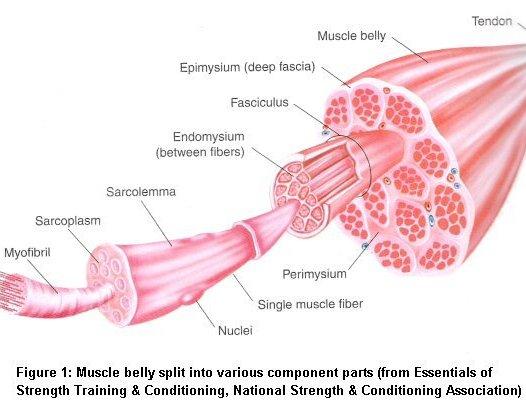 Increase muscle fibers